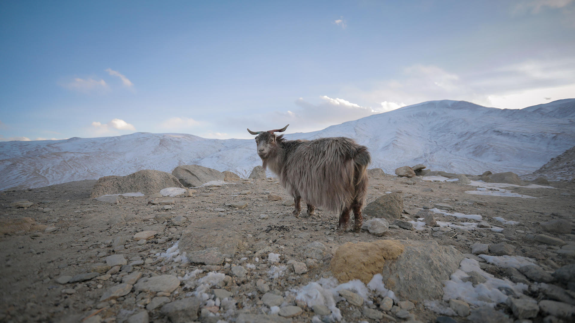 Mountain Sheep in Ladakh